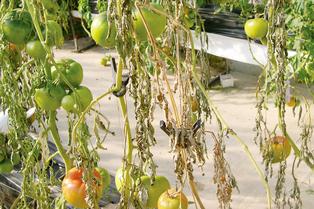 시설재배 토마토 전 포장 황폐화 시키는 '역병'