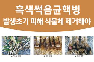 흑색썩음균핵병, 발생초기 피해 식물체 제거해야