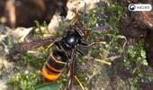 등검은말벌, 여왕벌 활동하는 봄철 방제적기