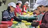 과잉생산 마늘, 해외 수출로 돌파구 찾는다!
