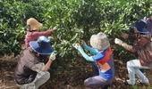 감귤 열매솎기로 상품율 높이고 수확일손 줄이고