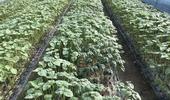 여름철 휴경기 '잎들깨 뿌리썩이선충' 피해 예방에 적기