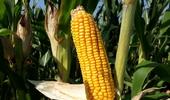 내년 사료용 옥수수는 우리 종자 '광평옥'으로