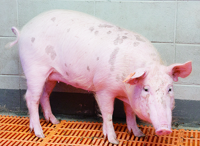 장기이식 돼지 '믿음이'